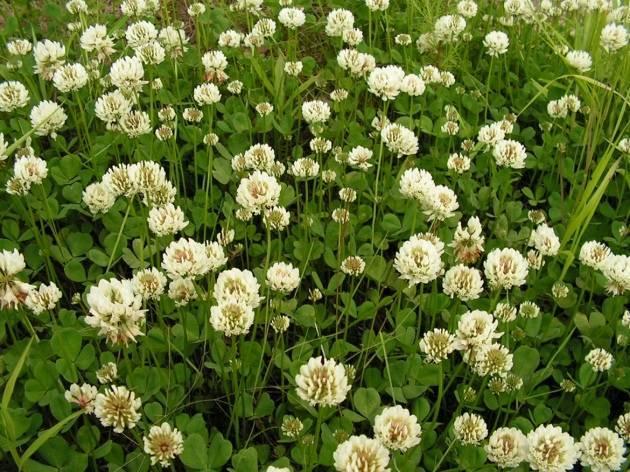 Описание белого клевера: сорта для газона, посадка, выращивание и уход