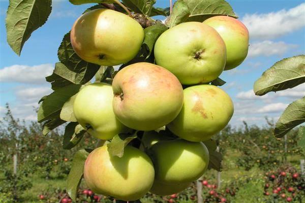 Плюсы выращивания иммунного сорта яблони веньяминовское
