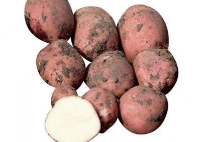 Выращивание немецкого среднеспелого картофеля «романце»