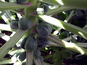 Брюссельская капуста — выращивание и уход в сибири и на урале