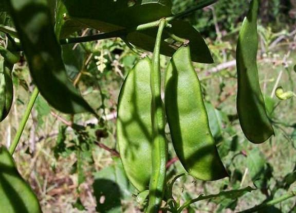 Фасоль лима: что за сорт, выращивание и уход