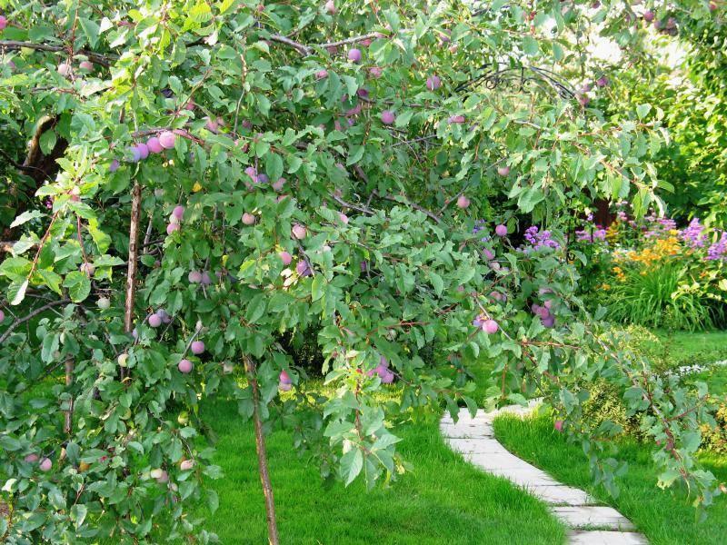 Характеристика и особенности выращивания сливы сорта топ хит