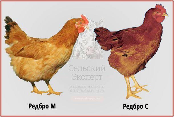 Порода кур Редбро: описание и характеристика, выращивание в домашних условиях,