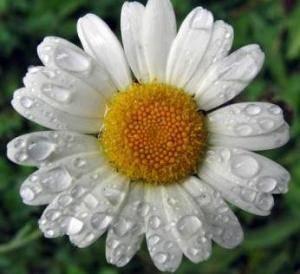 Значение цветка ромашки по фен-шуй и на языке цветов | zdavnews.ru