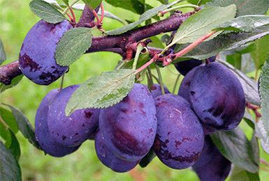 Вишня - ягода или фрукт? описание и фото