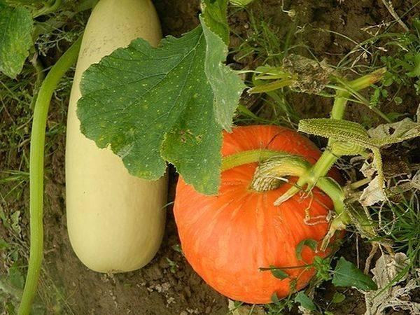Посадка семян тыквы на рассаду: правила посева, сроки, особенности ухода