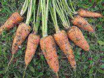 Посадка моркови семенами в открытый грунт весной: когда лучше, можно ли в конце мая, как происходит подготовка, как правильно сеять и на какую глубину, еще об уходе