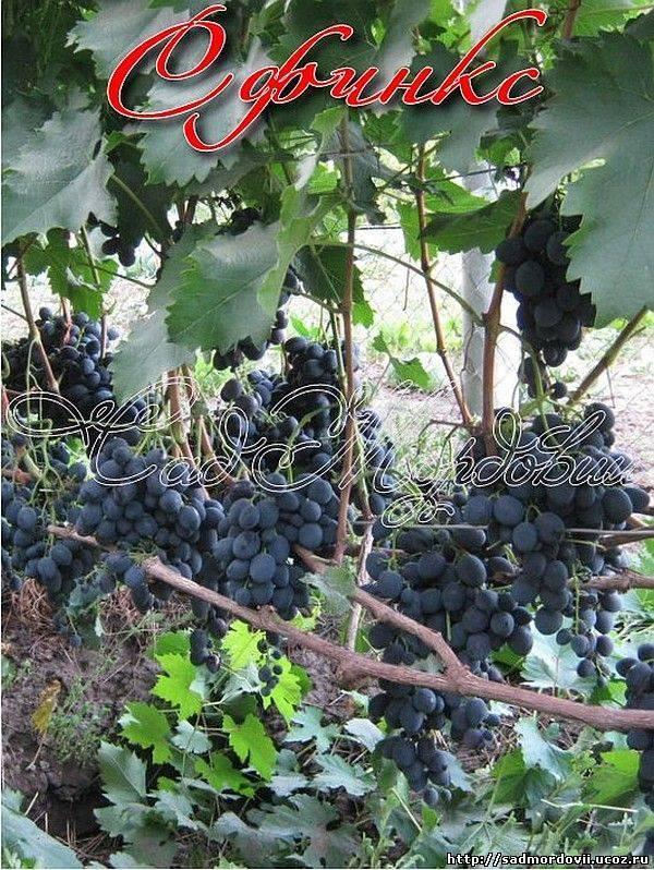 Сорт винограда ливия: характеристика, особенности посадки и ухода