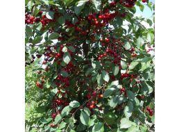 Великолепный гость родом из беларуси — сорт вишни вянок