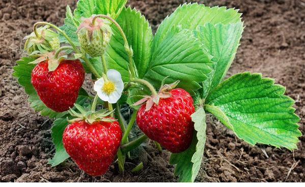 Состав и почва для клубники – подготовка, удобрение и способы обеззараживания