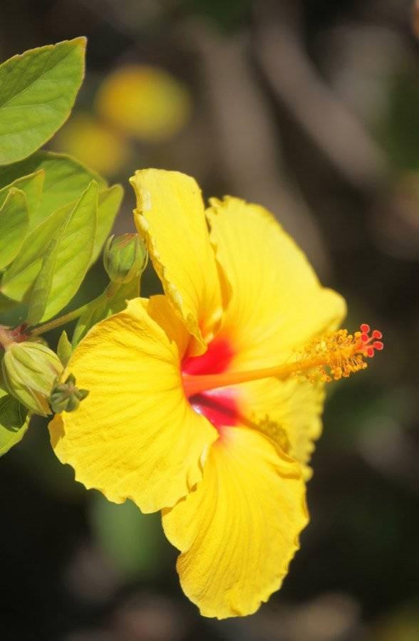 Когда цветет гибискус в домашних условиях: особенности ухода в это время и фото, сколько длиться процесс у комнатного растения и что делать после?