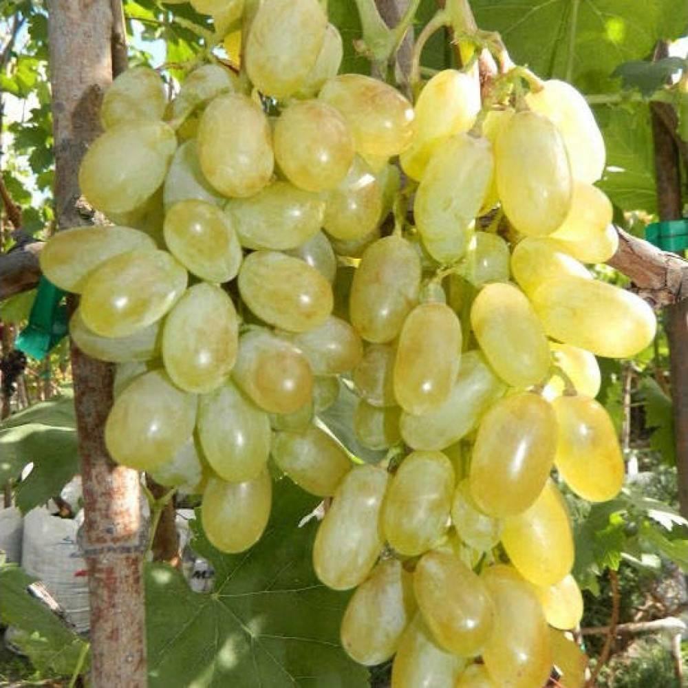 Виноград дамские пальчики или хусайне белый: характеристики сорта, агротехника, реальные отзывы