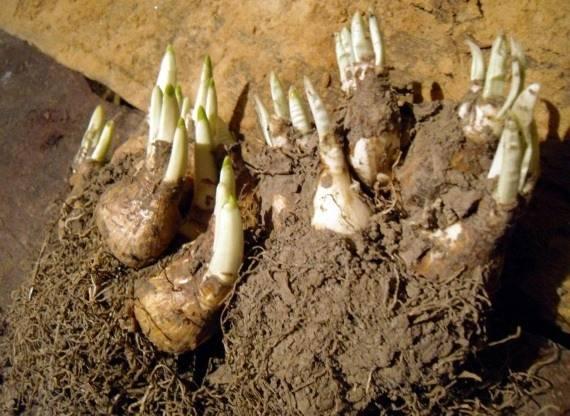 Выращивание крокусов в открытом грунте, когда выкапывать и высаживать луковицы растения