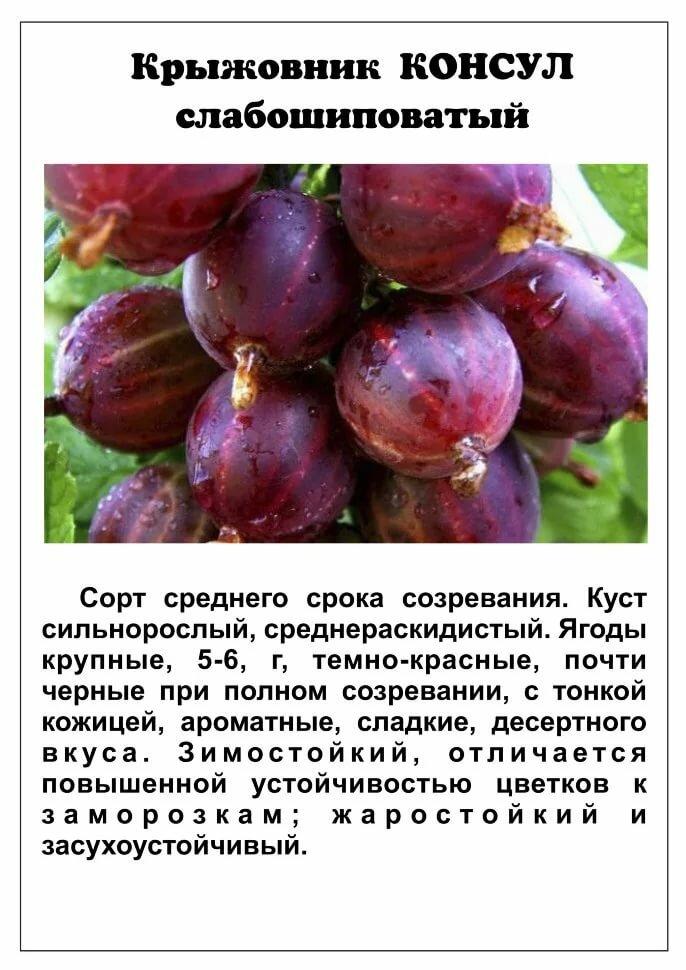 Сорт крыжовника инвикта: характеристики и грамотное выращивание