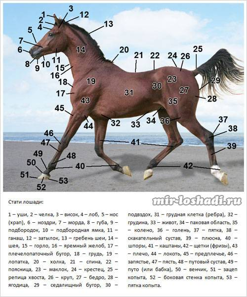 Скелет лошади: особенности строения костей и внутренних органов