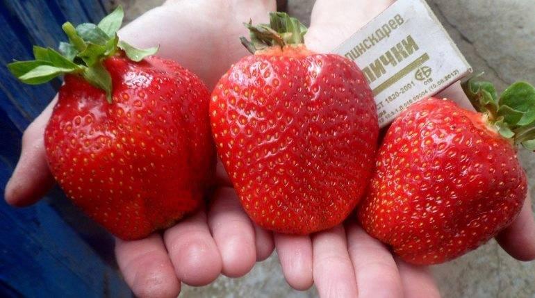 Клубника «марышка»: описание и характеристика сорта, агротехника выращивания и посадки ягоды (фото)