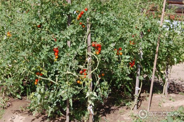 Томат «красная гроздь»: красивый, вкусный и урожайный