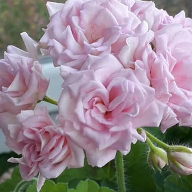 Пеларгония милфилд роуз: описание, особенности ухода и размножения, возможные болезни, фото