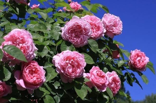 Описание розы оливия роуз остин