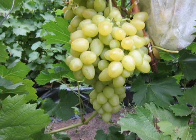 Виноград: как ухаживать с весны до поздней осени
