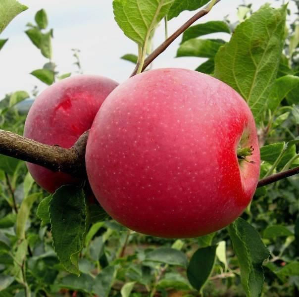 Сорт яблони краса свердловска: ботаническое описание и характеристика, агротехника выращивания