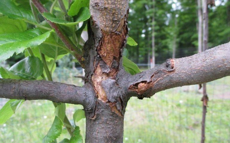 Основные болезни яблонь и их лечение
