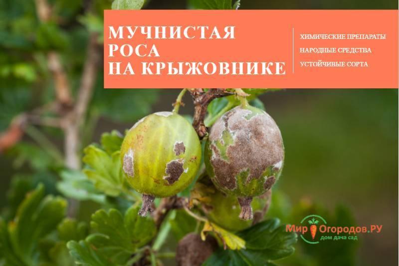 Чем обработать крыжовник от мучнистой росы весной. 5 методов борьбы с мучнистой росой.   садовый участок