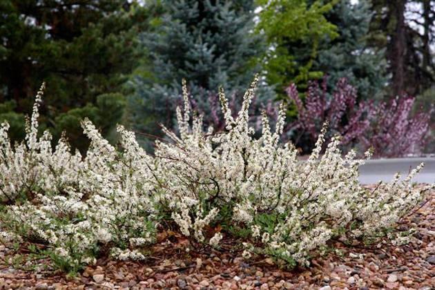 Вишня бессея: описание и правила посадки растения