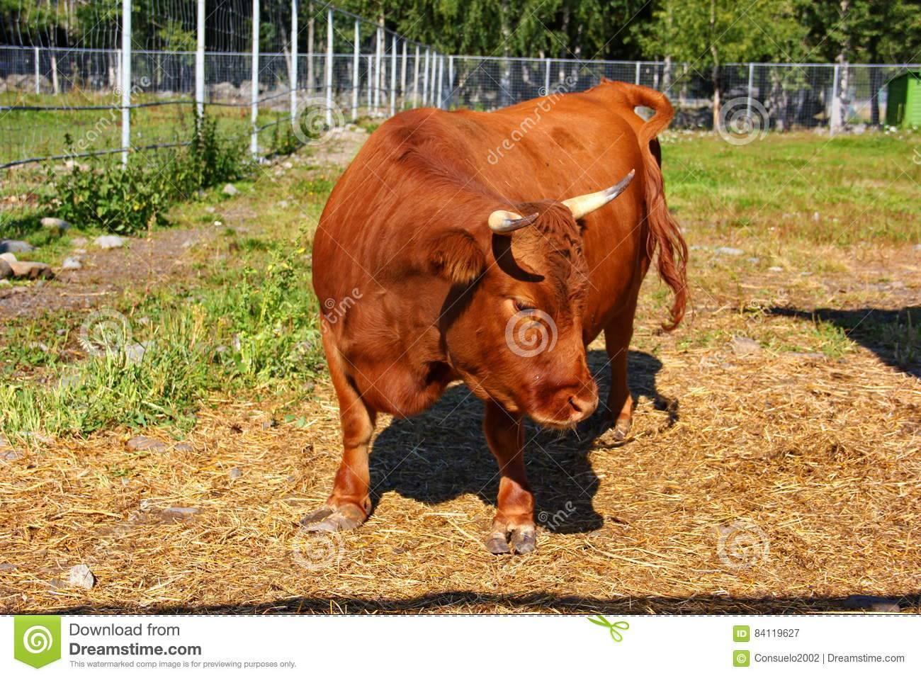 Якутская порода коров