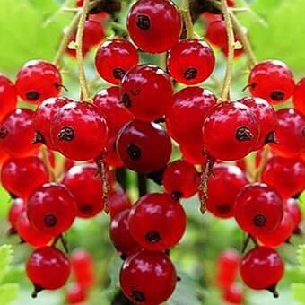 Лучшие сорта красной смородины для Подмосковья: крупноплодные, самые сладкие