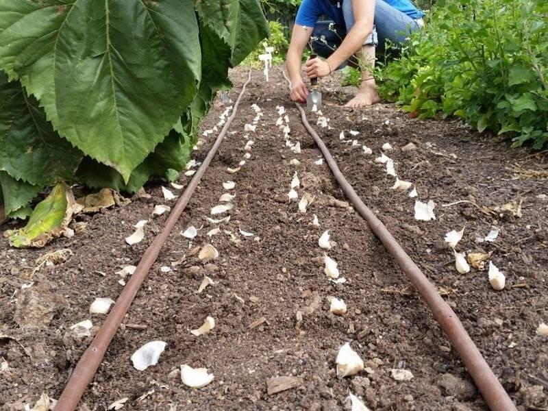 Время и схемы высадки рассады капусты в грунт