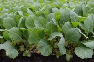 Как подготовить семена к посеву на рассаду