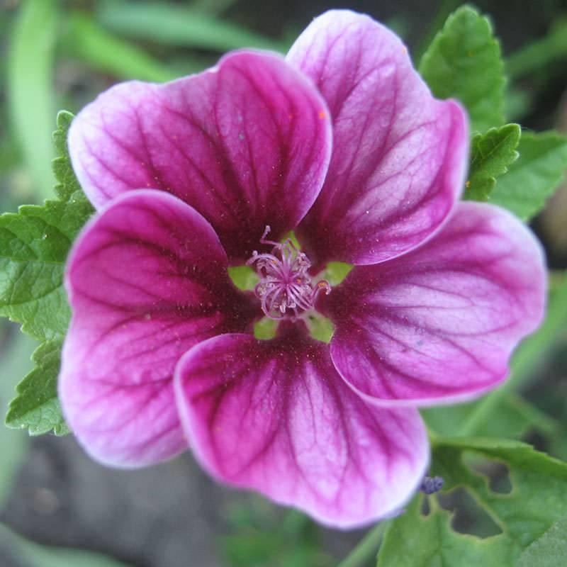 Описание однолетнего растения шток-роза, выращивание из семян