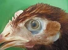 Закрылся глаз у курицы. что делать и чем лечить, если у курицы закрылся один глаз