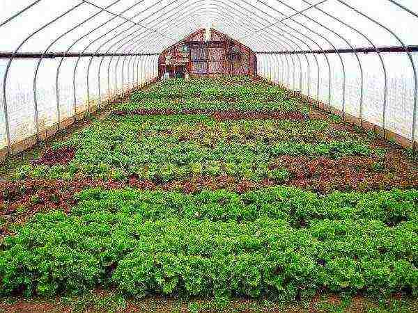 Как правильно посадить редис весной в теплице с отопления и без него — советы огородникам