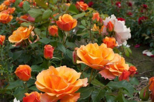 Выращивание розы текила