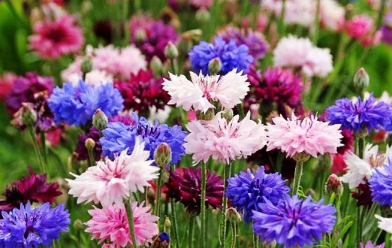 Василек садовый многолетний: посадка семенами и уход - общая информация - 2020