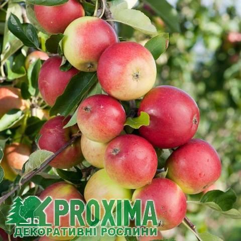 Крупноплодная яблоня лигол: описание, фото