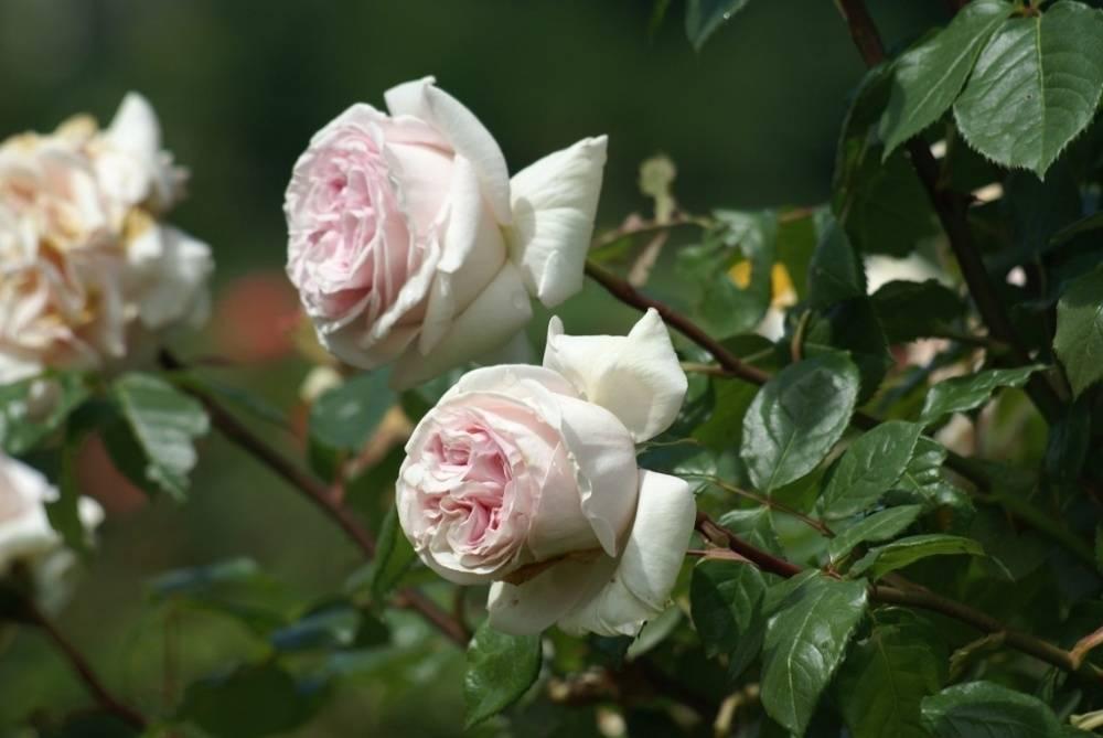 Роза ингрид бергман