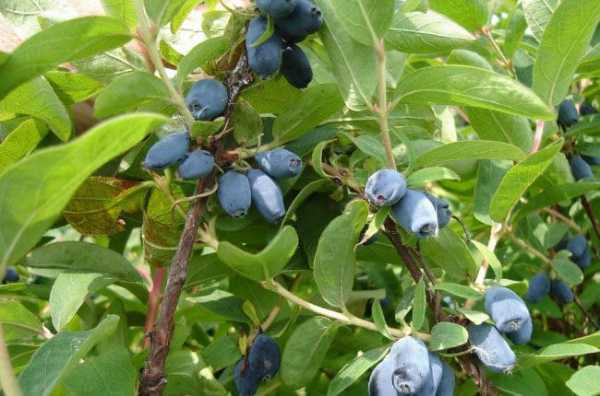 Жимолость: описание 19 популярных сортов, их многообразие и особенности, как отличить ядовитые плоды (35 фото & видео) +отзывы