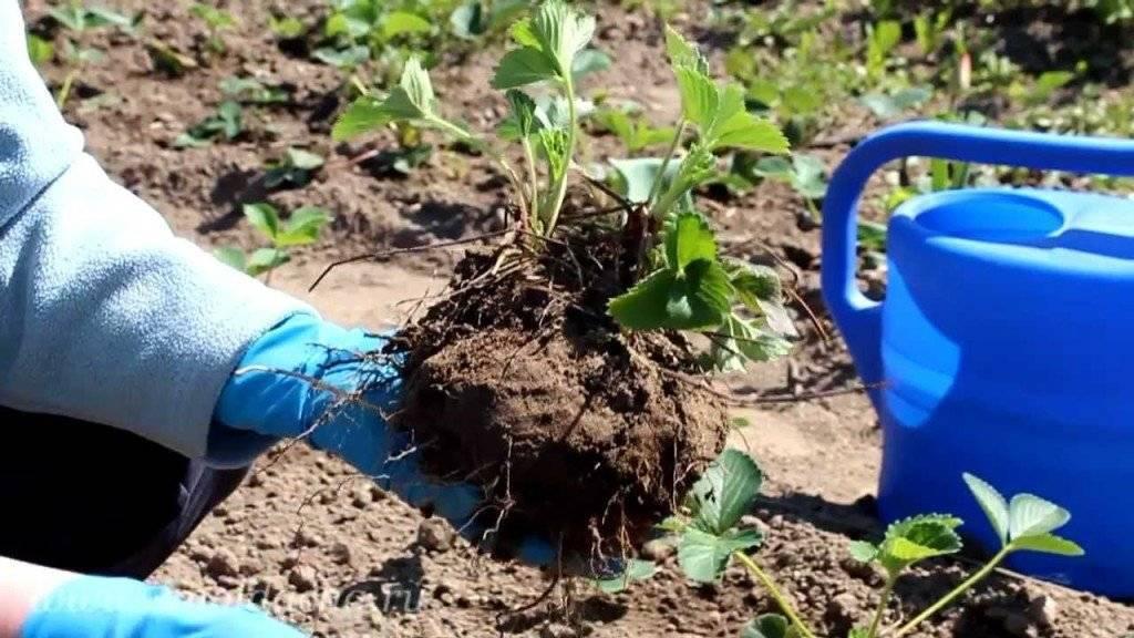 Когда пересаживать клубнику, чтобы повысить ее урожайность