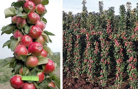 О яблоне колоновидной Арбат: описание и характеристики сорта, посадка и уход
