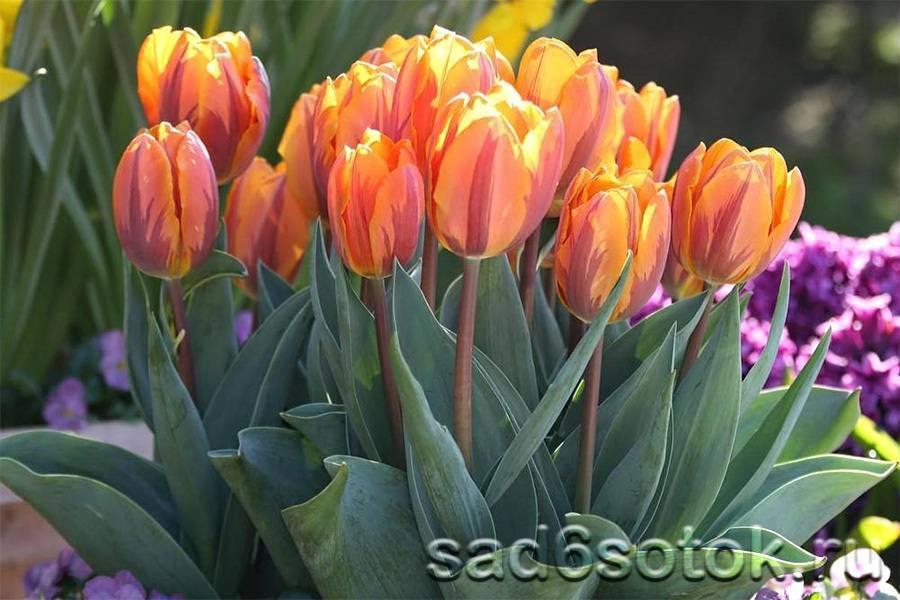 Тюльпаны шренка: краткое описание вида и особенности его выращивания