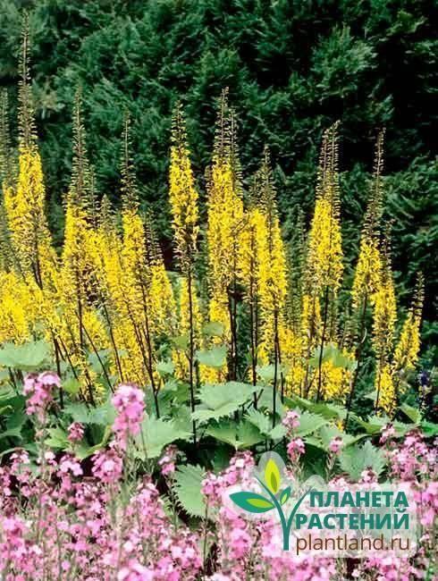 Что из себя представляет и как выращивается бузульник пржевальского?