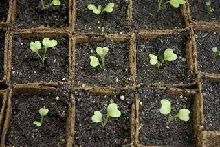 Как выращивать цветную капусту — советы опытных дачников