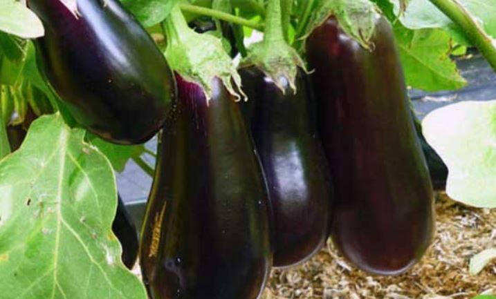 Как правильно вырастить баклажаны в теплице?