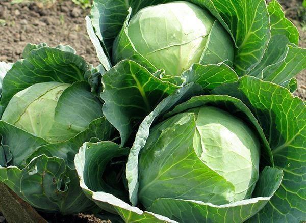 Секреты выращивания цветной капусты в открытом грунте и в теплице