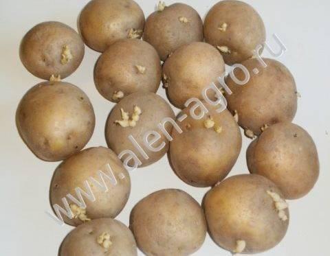 Картофель каратоп характеристика сорта отзывы