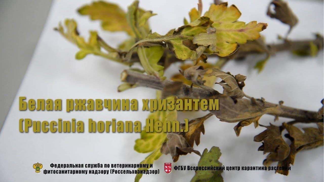Болезни и вредители хризантем