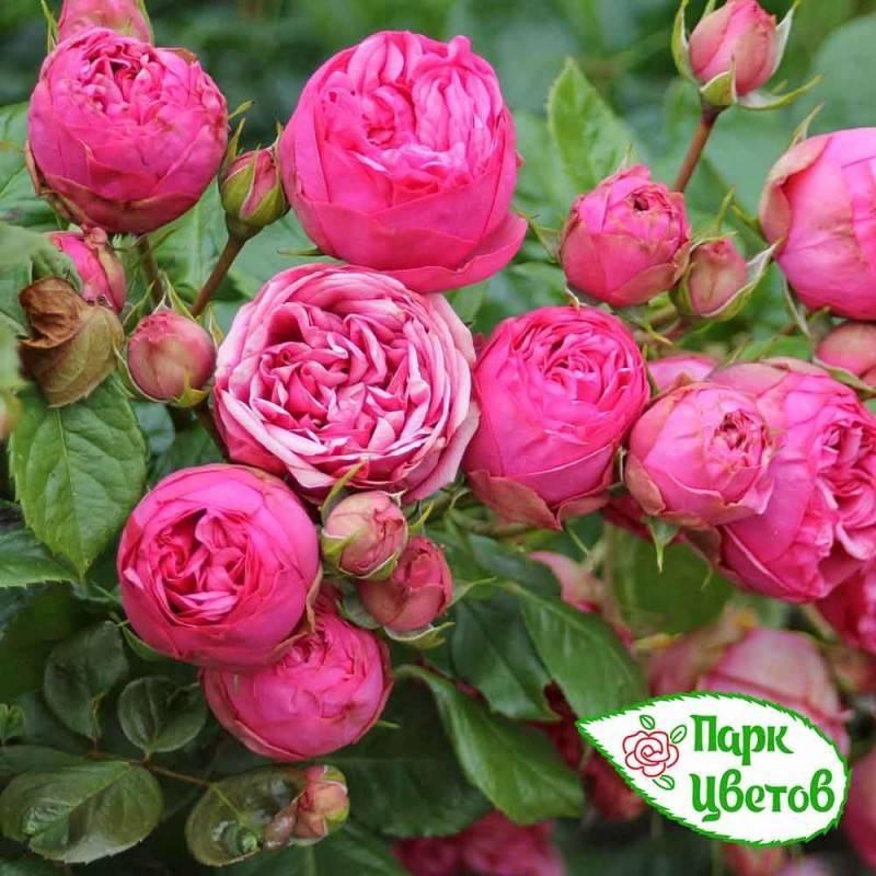 Чайный гибрид пиано - описание и агротехника | о розе